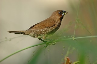 and your bird can sing (bronze munia) explore | by DOLCEVITALUX
