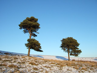 271110-two-pines | by treeblog