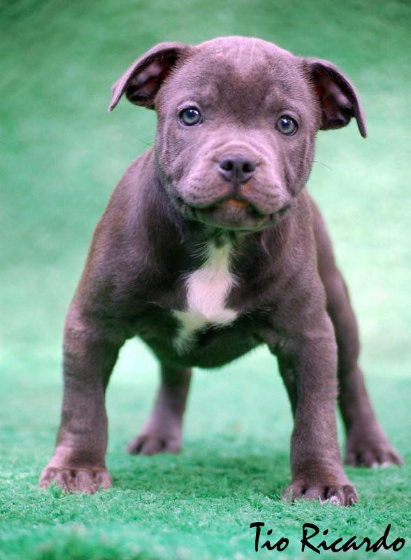 Favoritos STAFFBULL AZUL BLUE | Filhote de staffordshire bull terrier  OR68
