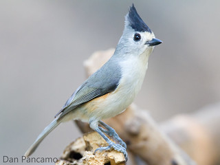 Black-crested Titmouse in Santa Ana National Wildlife Refuge | by Dan Pancamo