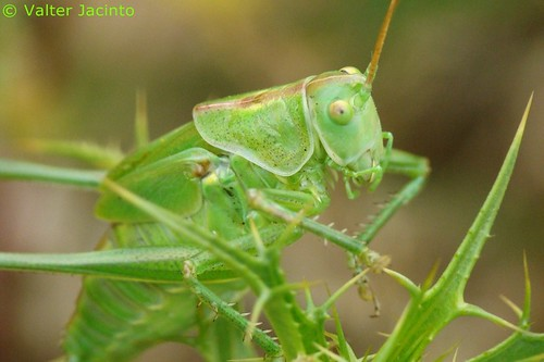 Saltão‑verde‑maior // Great Green Bush-cricket (Tettigonia viridissima), female | by Valter Jacinto | Portugal