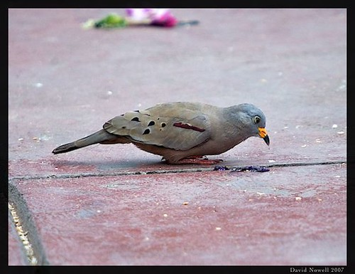 A croaking ground-dove feeding in a park in Lima, Peru. 11-11-2007. | by ecologyweb