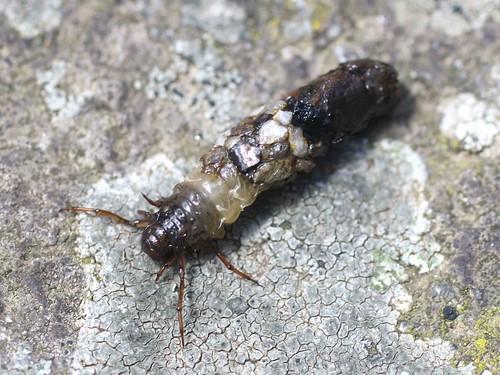 larve de phrygane r miniscence ces larves que l 39 on trouve flickr. Black Bedroom Furniture Sets. Home Design Ideas