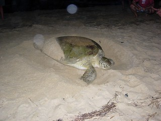 Green sea turtle nesting | by U. S. Fish and Wildlife Service - Northeast Region