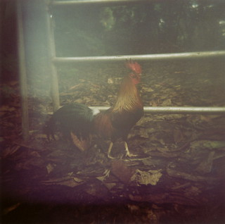 Rooster | by angela_c_m