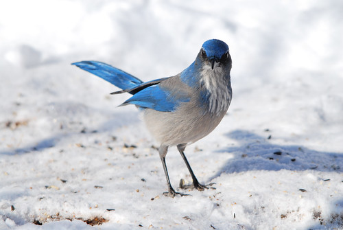 Woodhouse's Scrub-jay - January in Colorado | by breitschbirding