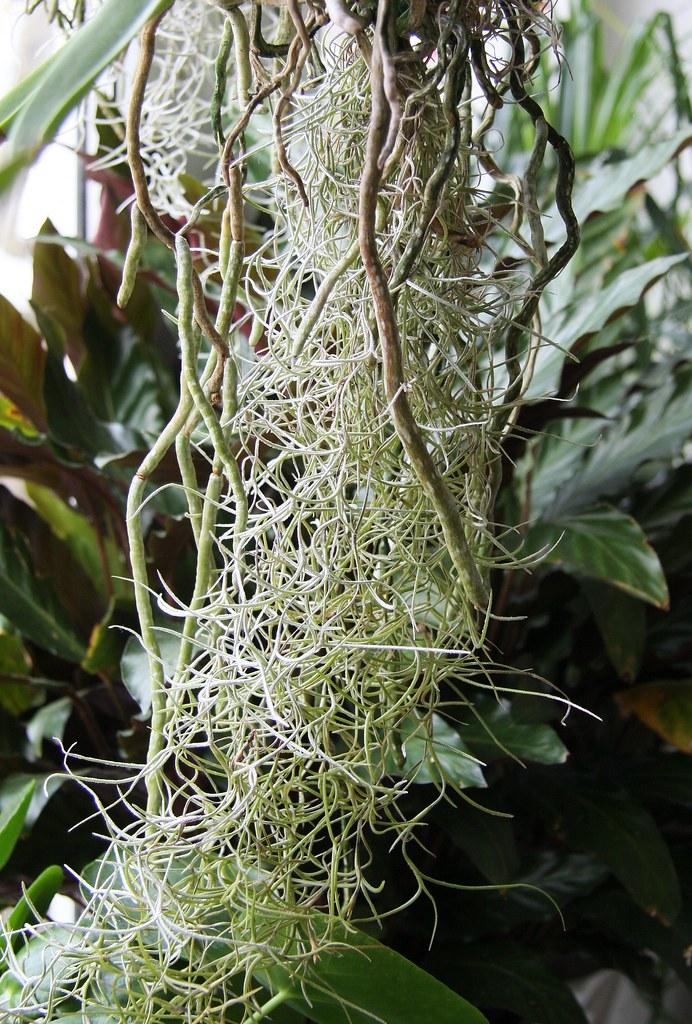orchidee vanda wurzeln