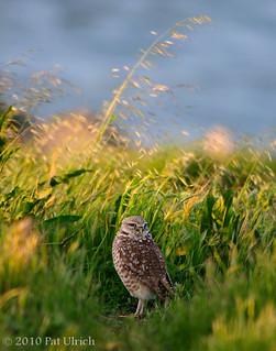 Late light, tall grass | by Pat Ulrich
