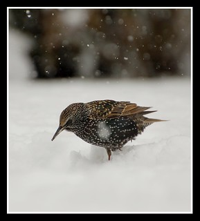 Starling in the Somerset snow! | by Levels Nature