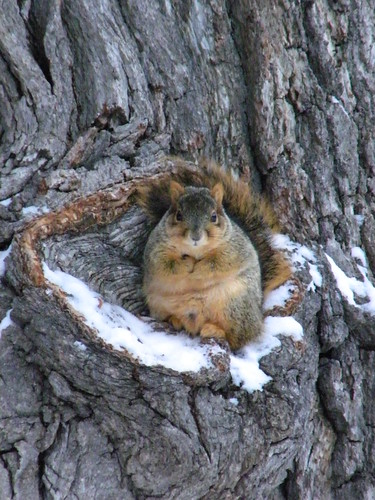 215/365/945 (January 12, 2011) – Squirrel in Winter (University of Michigan, Ann Arbor) | by cseeman