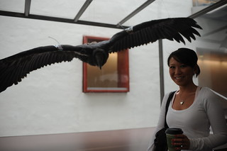 "California Condor ""Chocuyens"" and CSU Channel Islands student 