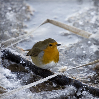 christmas robin | by Black Cat Photos