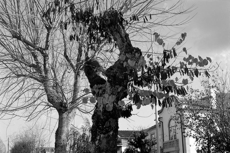 pétalas nas árvores