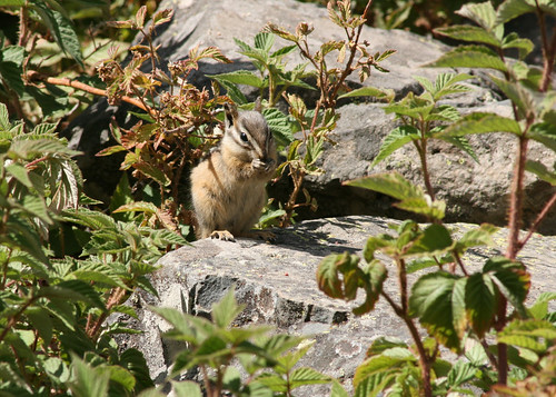 Least Chipmunk - Tamias minimus | by Gary Faulkner's wildlife photography