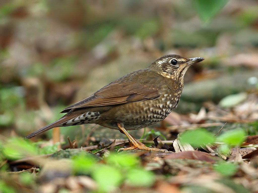 Rare Bird Alert, Siberian Thrush - Photos - Iceni Post News for ...