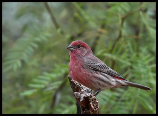 House Finch  IMG_2754edtbrdr | by cmescamilla