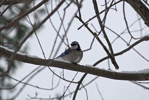 Blue Jay | by Linda's Fotos