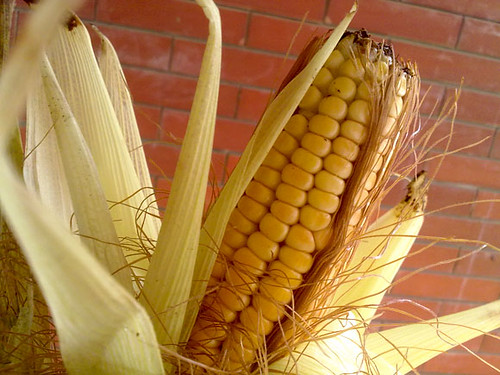 Corn | by CookieNF