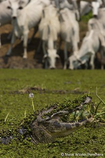 Caiman & Cattle. A little too close for comfort... | by Panthera Cats