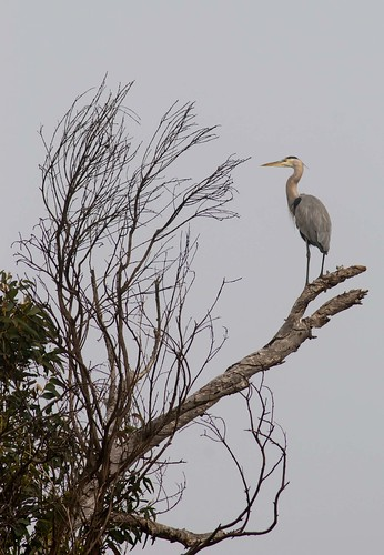 Great Blue Heron - out on a limb | by shottwokill
