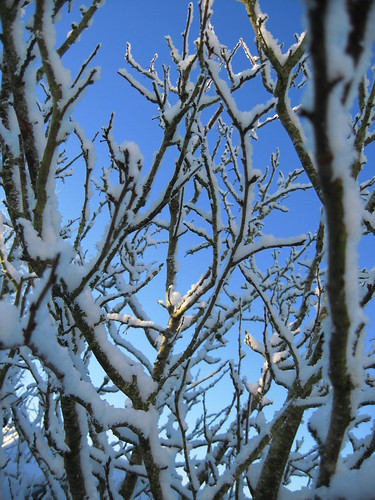 Skyward Snowy Branches (Home) | by srjm