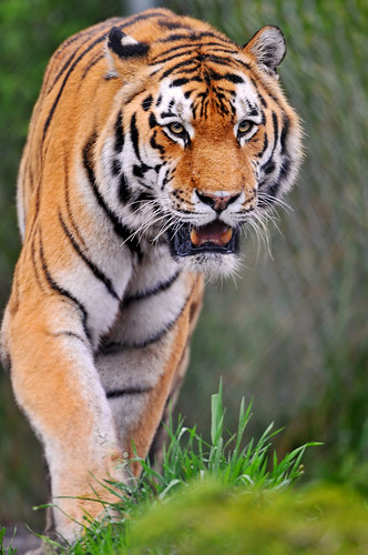 Walking tiger | by Tambako the Jaguar