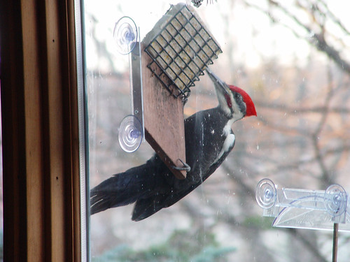 Pileated Woodpecker | by Laura Erickson