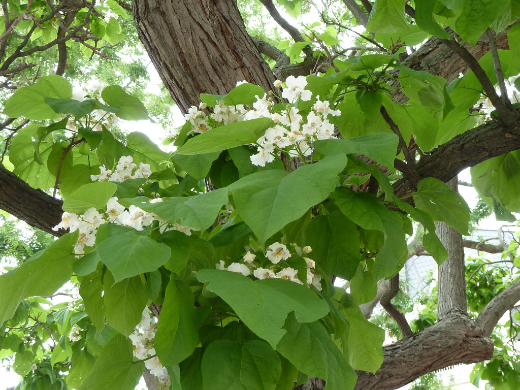 Flowers And Leaves On An Indian Bean Tree In Frankfurt P1 Flickr