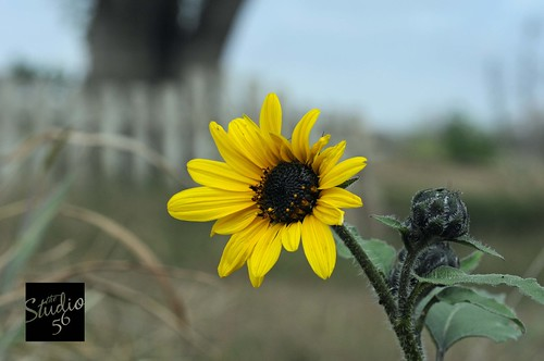 The Sunflower | by the studio 56