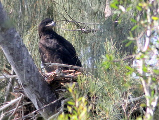 Eaglet PP8 settled down 20110330 | by Kenneth Cole Schneider