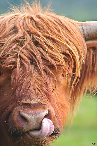 Highland Cow | by ilovethelight!