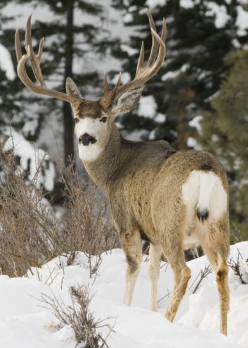 Mule deer buck behind a myatt late winter and early for Oregon fish and wildlife jobs