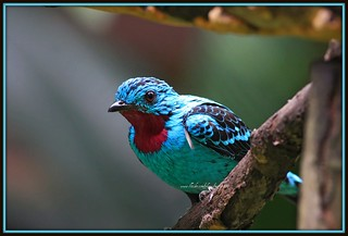 Spangled Cotinga | by Marge2009
