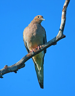Mourning Dove | by ashockenberry