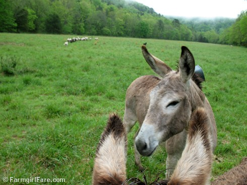 The Daily Donkey 32 | by Farmgirl Susan