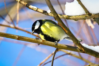 Great Tit | by Oscar von Bonsdorff