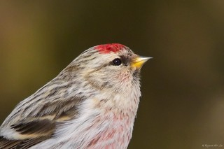 Hoary Redpoll Male Portrait | by Raymond Lee Photography