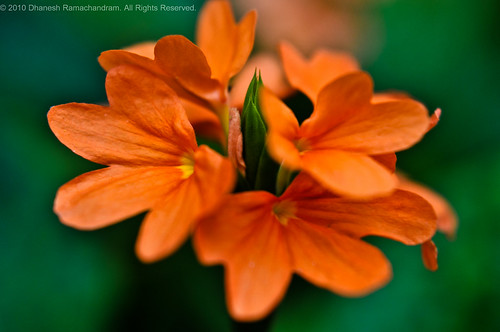 Crossandra infundibuliformis (Firecracker flower) | by dhaneshr