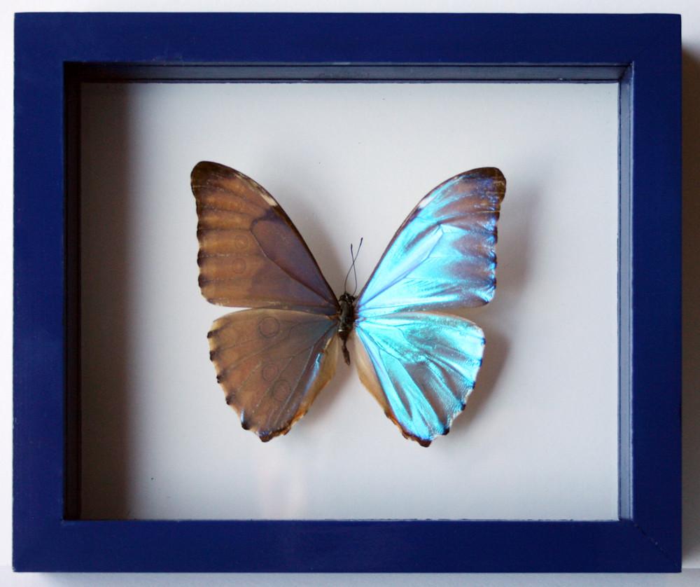 ... Real Framed Blue Morpho Butterfly Zephyritis | By Ben The Butterfly Guy