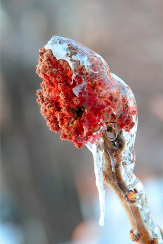 Icy Sumac | by PhotoDocGVSU