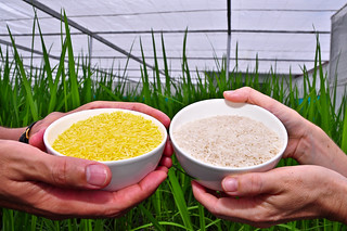 Golden Rice grain compared to white rice (3)-19 | by IRRI Images
