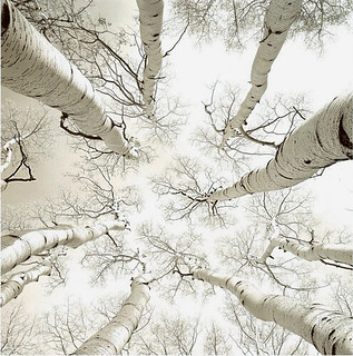 """Silver Birch"" (c.2005) photograph by Adam Brock 