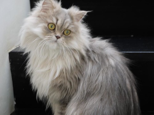 Do Persian Cat Is Glassy Eyed