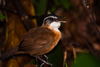 Black-capped Babbler (Pellorneum capistratum) | by BrendanMcGarry