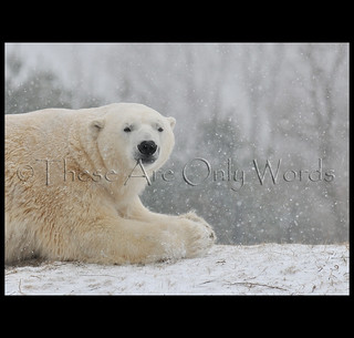 Polar Bear | by these are only words