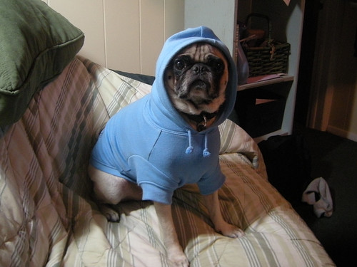 Pug with a Blue Hoodie | by Brian Cribb