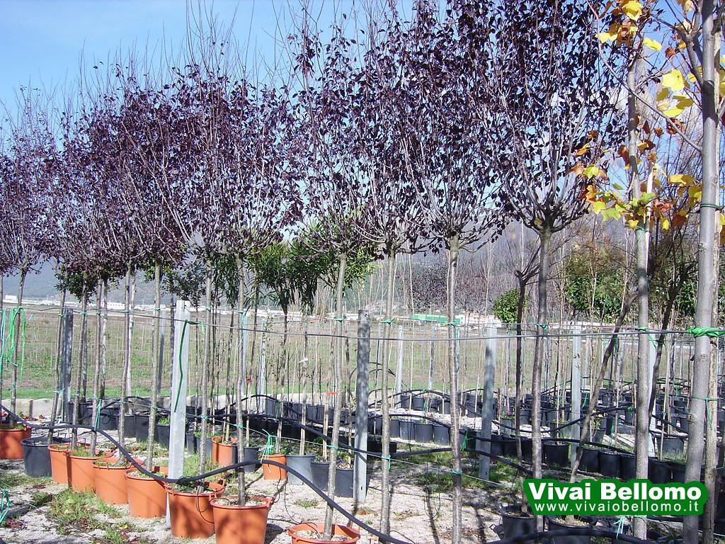 Prunus Pinsardi Vivai Bellomo Produzione E Vendita Alli Flickr