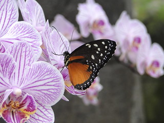 butterfly on orchids | by bugman11