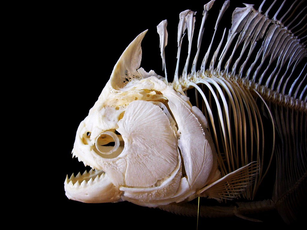 Redeye piranha skeleton   Complete redeye piranha skeleton (…   Flickr