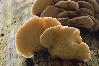 Tree Fungus - Oyster Mushrooms / Pleurotus Ostreatus on Dead Standing Tree | by Dominic's pics